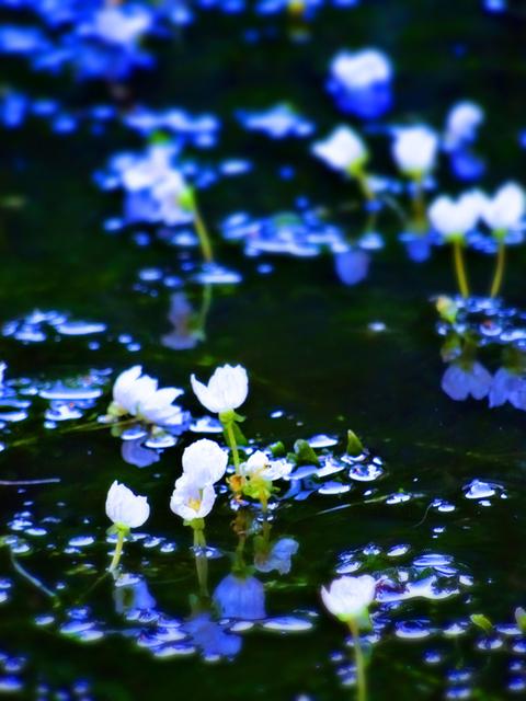 82いさごや池の花s.jpg